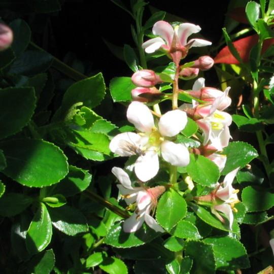 Escallonia Apple Blossom (Escallonia)
