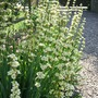 Sysyrinchium_striatum_1