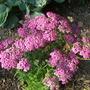 Achiiiiillea_millefolium_pretty_belinda_