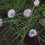 Chives flowering (Allium schoenoprasum (Chives))