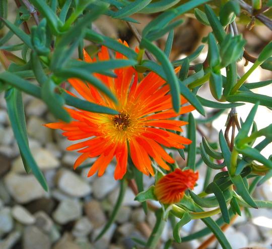 Lampranthus Tresco Orange... (Lampranthus spectabilis (Trailing Ice Plant))