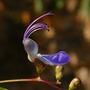 Clerodendrum ugandense (Blue glory bower)