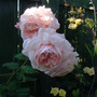 "Rosa ""A Shropshire Lad"""