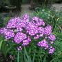 Phlox Laura (Phlox paniculata (Perennial phlox))