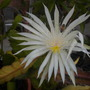 Epiphyllum Hybrid White Flower (Epiphyllum Hybrid White Flower)