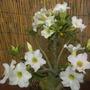 Adenium obesum - White Desert Rose (Adenium obesum - White Desert Rose)