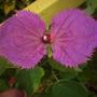 Dalechampia dioscoreifolia - Purple Wings Vine Flower (Dalechampia dioscoreifolia - Purple Wings Vine)