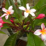 Plumeria rubra &#x27;Thai&#x27;  - Thai Plumeria Flowers (Plumeria rubra &#x27;Thai&#x27;  - Thai Plumeria Flowers)