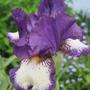 Farside (Iris germanica (Orris))