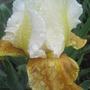 Honey Glaze (Iris germanica (Orris))