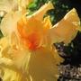 Millennium Sunrise (Iris germanica (Orris))