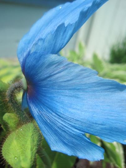 Blue poppy (Meconopsis betonicifolia (Himalayan blue poppy))