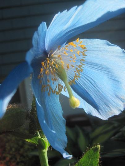 Himalayan blue poppy (Meconopsis betonicifolia (Himalayan blue poppy))