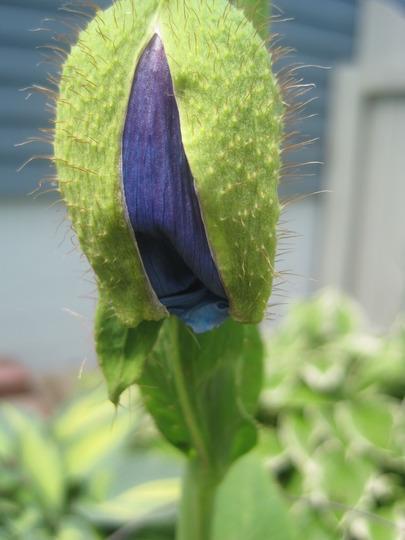 opening bud blue poppy (Meconopsis betonicifolia (Himalayan blue poppy))