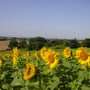 Sunflowers in jean pierre's fields