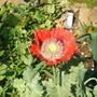 'Wild Poppy'