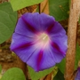 Morning Glory 2 (Ipomoea purpurea (Morning glory))