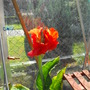 Canna.....my 1st one to open...