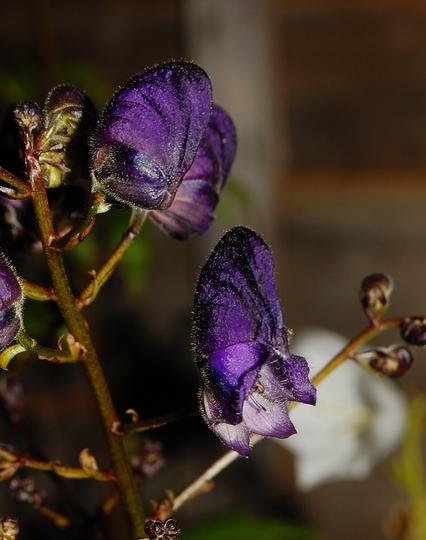 """Aconitum """"Sparks Variety"""" (Aconitum henryi)"""
