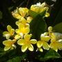 Plumeria rubra 'Canary' - Canary Plumeria Flowers (Plumeria rubra 'Canary' - Canary Plumeria)