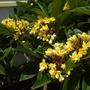 Plumeria rubra 'Canary' - Canary Plumeria Flowers (Plumeria 'Canary' - Canary Plumeria)