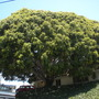 Huge Ficus benjamina - Weeping Fig (Ficus benjamina - Weeping Fig)