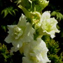 Antirrhinum_fi_double_madam_butterfly