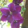 Clematis (Purple Passion)
