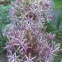 lilic allium