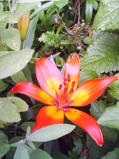 close_up_of_frist_lily.jpg