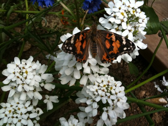 butterfly painted lady I think