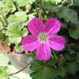 Erodium x specabile Bishops Form 2 (Erodium x variabile 'Bishop's Form')