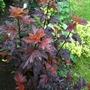 Physocarpus_lady_in_red