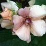 Verbascum_jackie_flowerhead