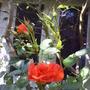 peach_rose. sunseeker jpg