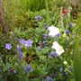 White_and_blue_campanula