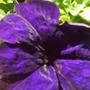 purple_petunia.jpg