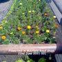 Flowerbed_in_mayfield_road_shops_22_06_2011_001