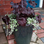 Heuchera and Dichondra (Heuchera 'Obsidian' and Dichondra 'Silver Falls')