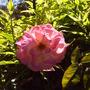 pink_rose_on_arbor.jpg