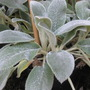 lambs ear (stachys byzantina silver carpet)