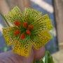Lilium wigginsii Wiggins yellow lily