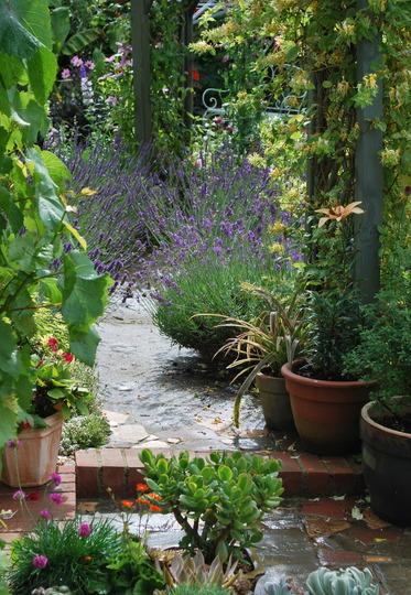 Path through the lavender in the rain.... (lavandula angustifolia)
