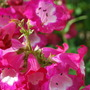 Penstemon Phoenix Rose. (Penstemon barbatus (Beardlip penstemon) Phoenix Rose.)