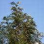 Silver Oak against a very blue sky (Grevillea robusta (Mgrivea))