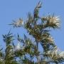 close up of Silver oak (Grevillea robusta (Mgrivea))