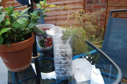 Lulu sent me a wonderful parcel of plants.  (Foeniculum vulgare (Bronze fennel))