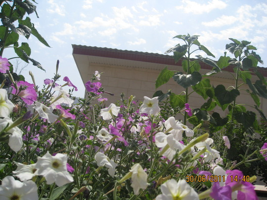 petunia flower early summer