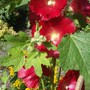 Hollyhock alcea rosea old barnyard Red (Hollyhock alcea rosea old barnyard Red)