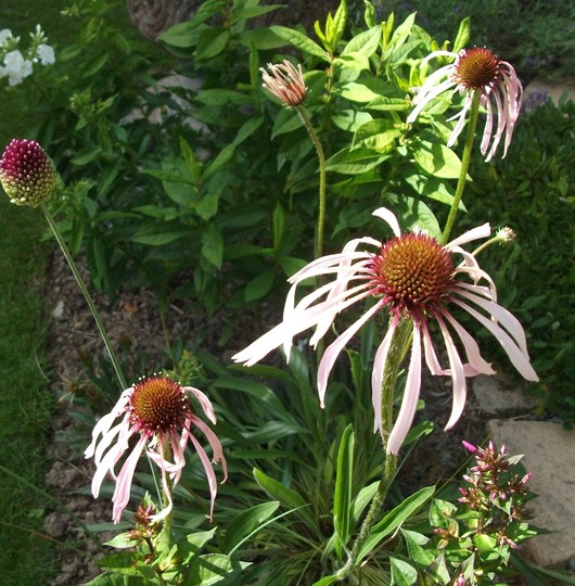 Echinacea pallida - strange arnt they?but they are supposed to droop like this. (Echinacea Pallida)